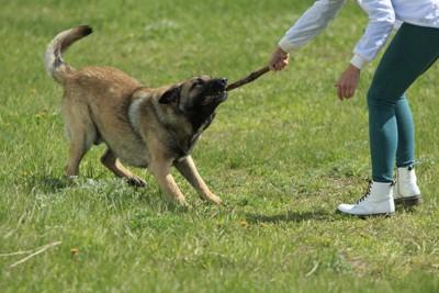 犬から棒を取り上げる