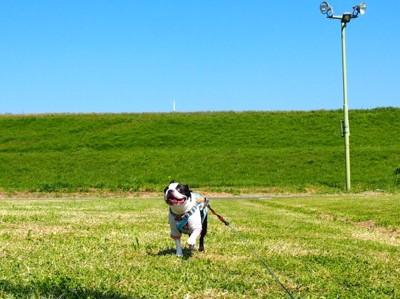 走っているフレンチブルドッグの写真
