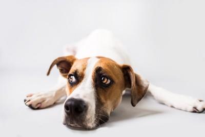 伏せた状態で目を逸らす犬
