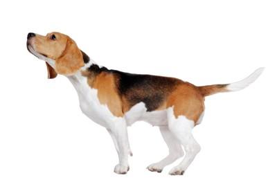 ニオイを嗅ぐ犬