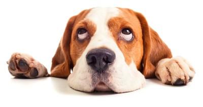 床に伏せて目線を上げる犬