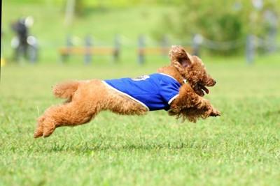 ドッグランを走る犬