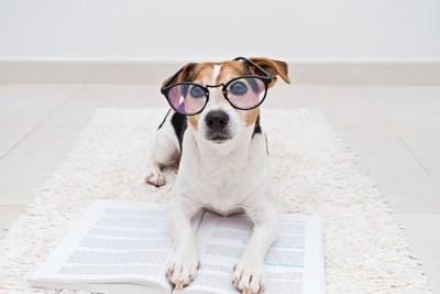 眼鏡をかけて本を読むジャックラッセルテリア