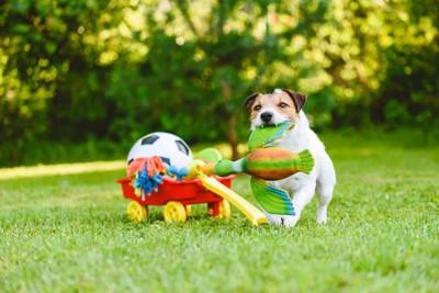 庭のおもちゃで遊ぶジャックラッセルテリア