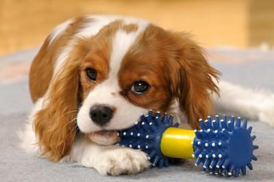 オモチャで遊びながらこちらを見る犬