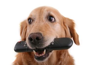 リモコンを口にくわえている犬