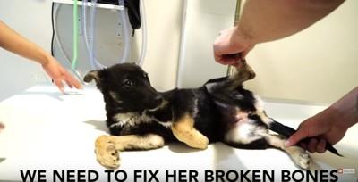 診察台で足を開く犬