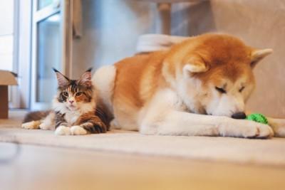 リラックスした猫と秋田犬