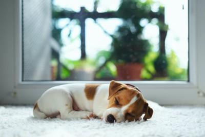 窓辺で眠る子犬