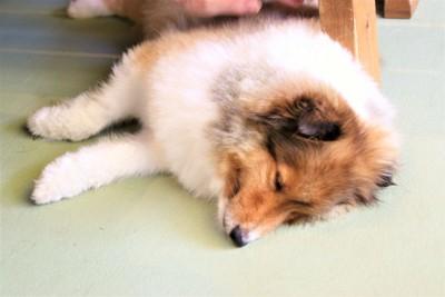 床に横になっている犬