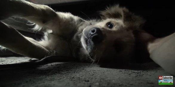引き出される犬