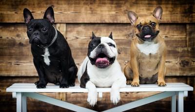 ベンチの上にいる三匹のフレンチ・ブルドッグ