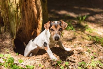木のそばの穴から顔を出す犬