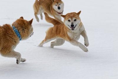 雪上を走り回る柴犬