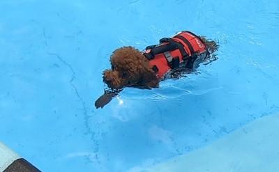 泳ぐ愛犬斜め