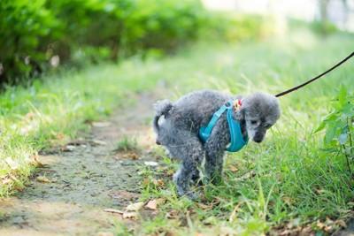 灰色の犬がウンチをしている