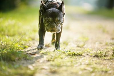黒いフレンチブルドッグの老犬