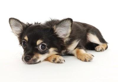 こちらを見る黒いチワワの子犬