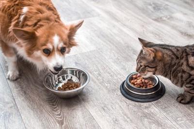 フードを食べるコーギーと猫