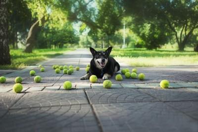 たくさんのテニスボールを前に伏せている犬