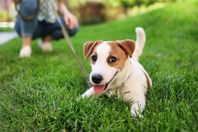 散歩中に芝生で休むジャック・ラッセル・テリア