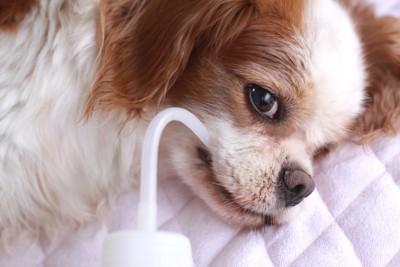 水分補給をする老犬