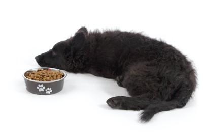ドッグフードの入った器の横で寝そべる黒い犬