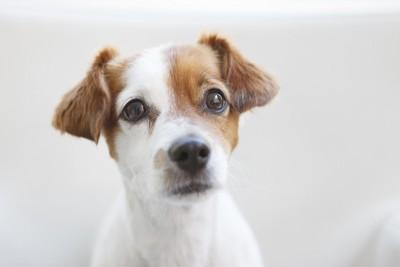 白茶の子犬の顔
