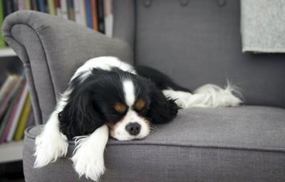 ソファーの上で寝る犬