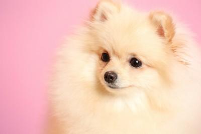 ピンクの背景とつぶらな瞳のポメラニアン