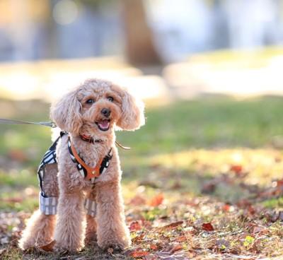 秋の公園にいるマルプー