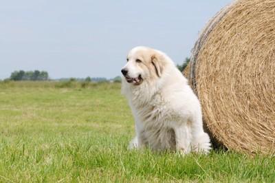 草原でお座りをしているグレートピレニーズ