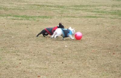フレブル2匹が並んでボール遊びをしている写真