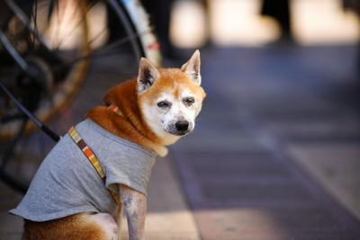 散歩中の老犬