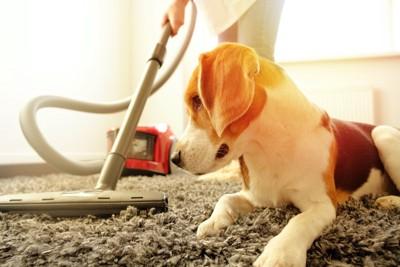 飼い主がかけている掃除機を見つめている犬