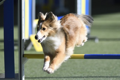 競技をする犬