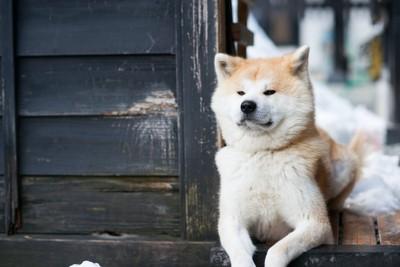 番犬をしている秋田犬