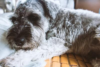 横たわった犬
