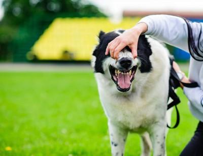 飼い主に顔をつかまれている犬