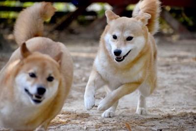 追いかけっこしている2匹の犬