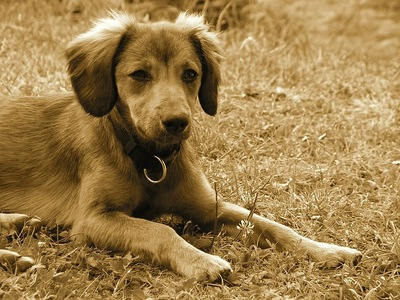 悲しげな顔の犬