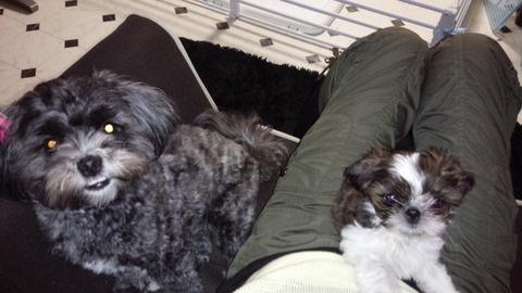 先住犬と膝の上の新入り犬