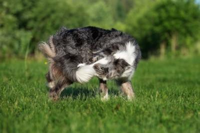 尻尾を追いかけて噛む犬