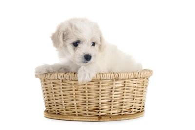 カゴに入ったビションフリーゼの幼犬