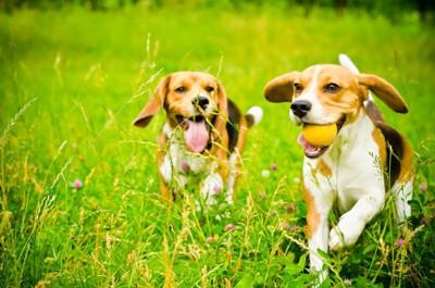 ボールをくわえて草原で遊んでいるビーグル