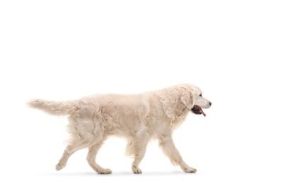 歩いている白いゴールデンレトリバー