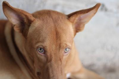 耳を澄ます茶色の犬
