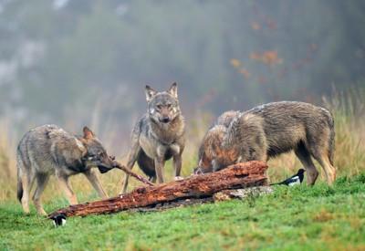 食事中のオオカミの群れ