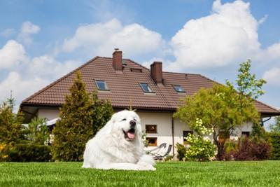 庭の芝生でくつろぐ白い大型犬