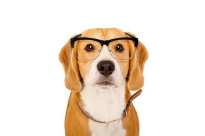 メガネをかけたビーグル